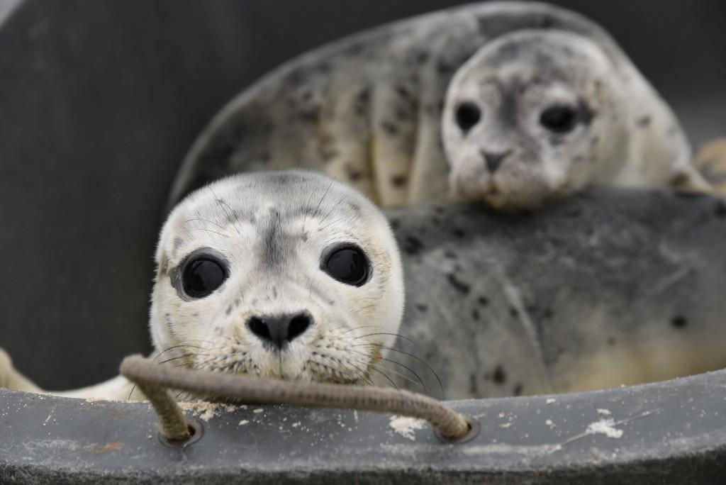 Seehundbabys - kleine Heuler werden auf Sylt angespült