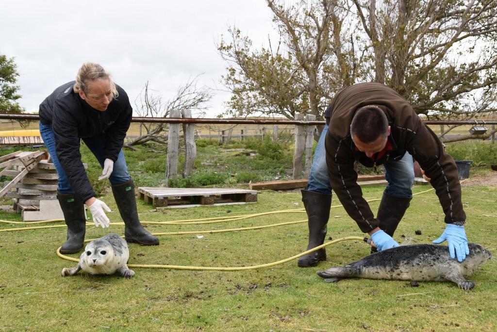 Conni und Thomas Diedrichsen versorgen die Seehundebabys